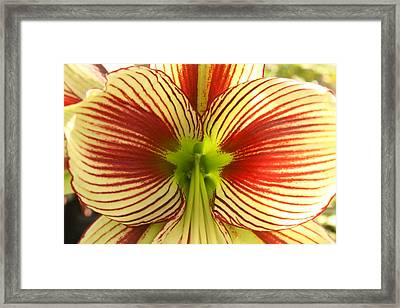 Butterfly Amaryllis Framed Print by Tanya Moody