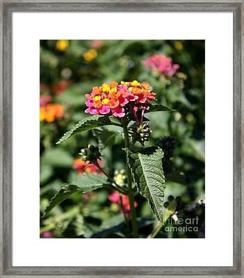 Butterfly Bush Framed Print by Elizabeth Coats