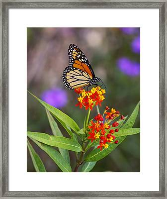 Butterfly Closeup Framed Print by Joe Myeress