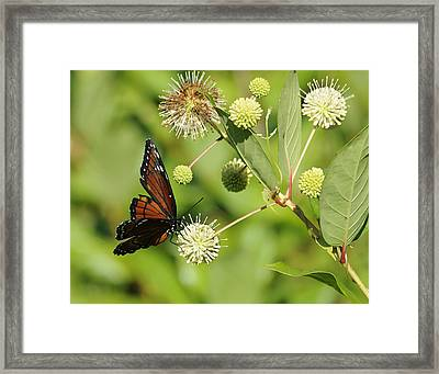 Butterfly Framed Print by Keith Lovejoy