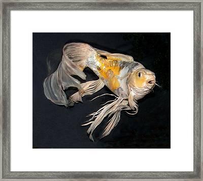 Butterfly Koi C Framed Print by Janna Morrison