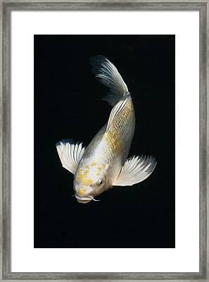 Butterfly Koi Framed Print by Don Mann