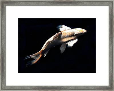 Butterfly Koi In Flight Framed Print by Don Mann