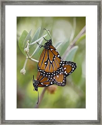Butterfly Love  Framed Print by Saija  Lehtonen