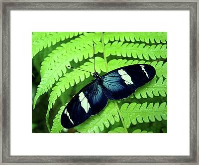 Butterfly On Leaf. Framed Print by Kryssia Campos