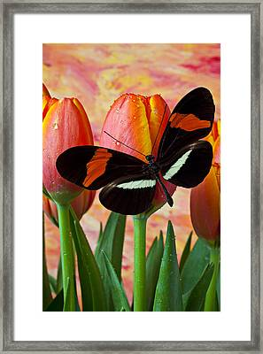 Butterfly On Orange Tulip Framed Print by Garry Gay
