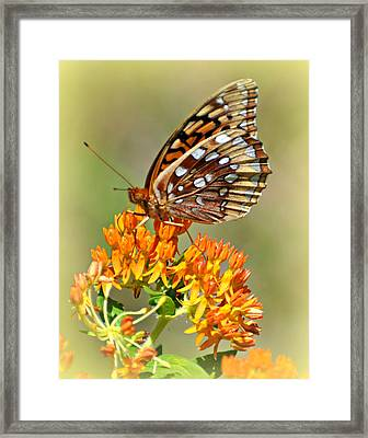Butterfly Weed 1 Framed Print by Marty Koch