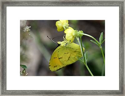 Butterfly - Yellow Sulphur On Yellow Framed Print by Travis Truelove
