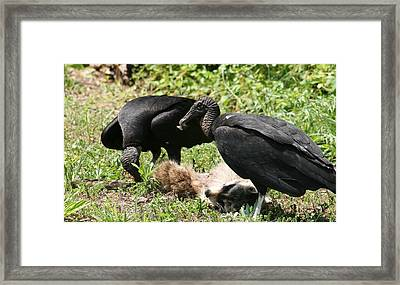 Buzzards In Action Framed Print by Valia Bradshaw