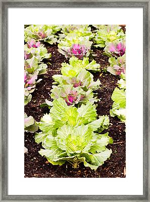 Cabbages Framed Print by Tom Gowanlock