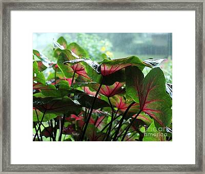 Caladiums In The Rain Framed Print by Theresa Willingham