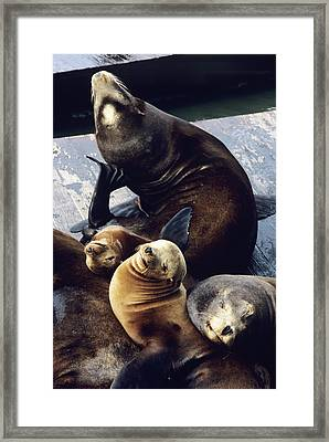 California Sea Lions Framed Print by Alan Sirulnikoff