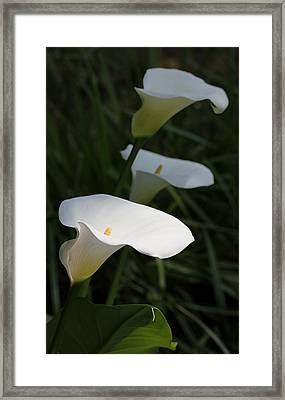 Calla Lilies In The Shadows Framed Print by Jennie Marie Schell