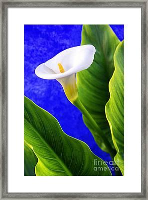 Calla Over Blue Framed Print by Carlos Caetano