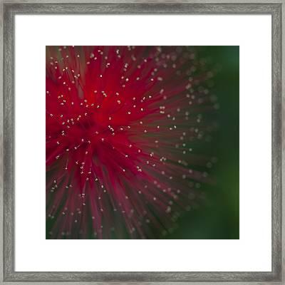 Calliandra II Framed Print by Zoe Ferrie