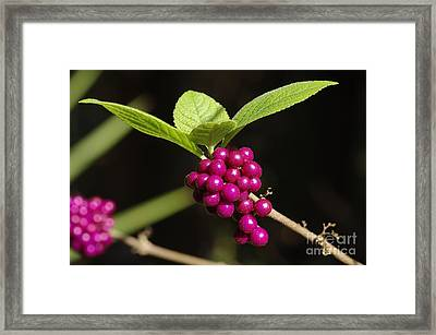 Callicarpa Americana Framed Print by Don Youngclaus