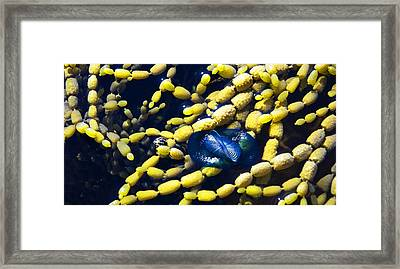 Calliphoras Framed Print by Sandro Rossi
