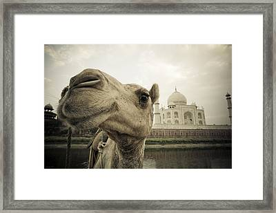 Camel In Front Of The Yamuna River And Framed Print by David DuChemin