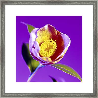 Camellia Flower (camellia Sp.) Framed Print by Johnny Greig