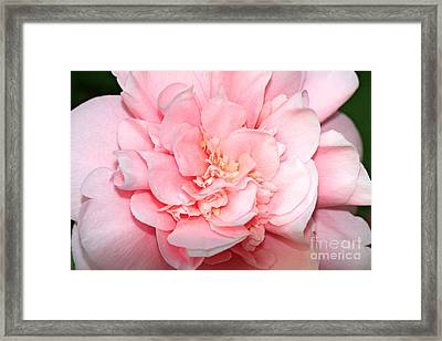 Camellia Framed Print by Louise Heusinkveld