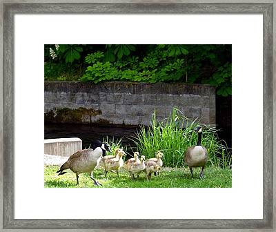 Canada Geese With Goslings Framed Print by Will Borden