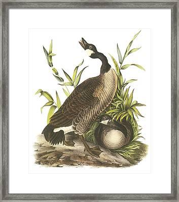 Canada Goose Framed Print by John James Audubon