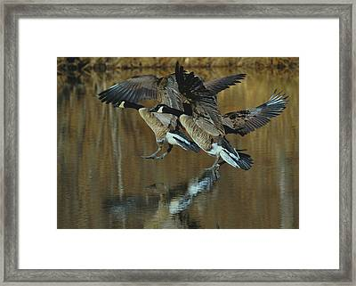 Canada Goose Trio Landing - C0843m Framed Print by Paul Lyndon Phillips
