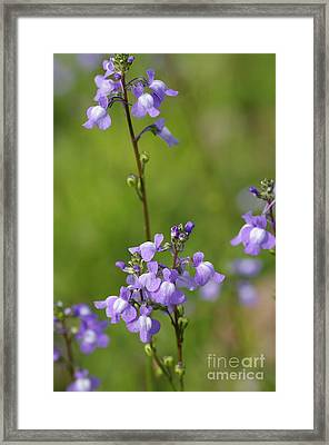 Canada Toadflax Framed Print by Don Youngclaus