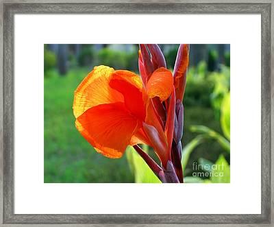 Canna Flower Framed Print by Yali Shi