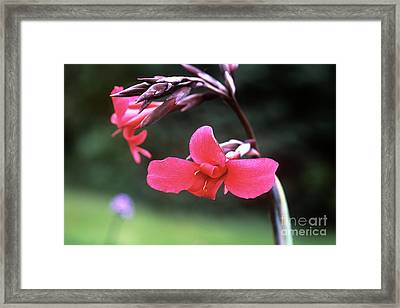 Canna Lily (canna X Ehemanii) Framed Print by Adrian Thomas