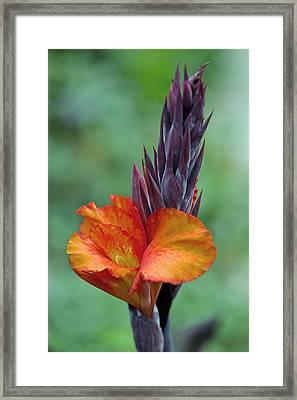 Canna Sp Framed Print by Dr Keith Wheeler