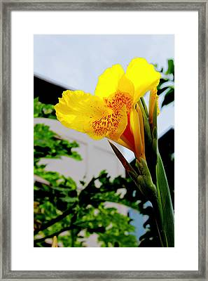 Canna Yellow Flowers. Framed Print by Pitakpong Chansri