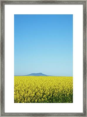 Canola Crops Flowers In Field Framed Print by John White Photos