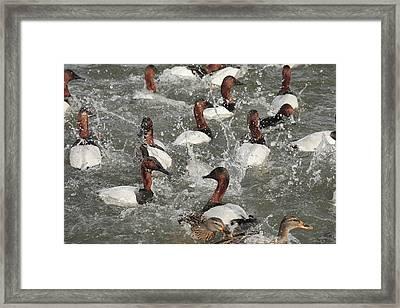 Canvasback Ducks In A Feeding Frenzy Framed Print by George Grall