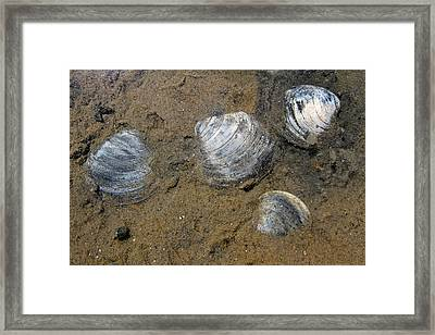 Cape Cod Clam Shells Framed Print by Juergen Roth