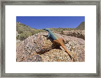 Cape Flat Lizard  South Africa Framed Print by Piotr Naskrecki