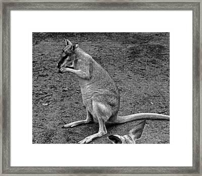 Captain Kangaroo Framed Print by Elizabeth  Doran