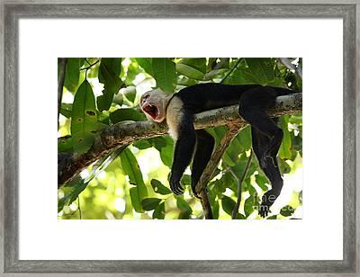 Capuchin Monkey Framed Print by Matt Tilghman