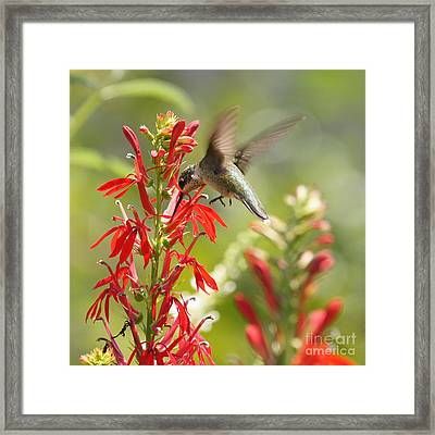 Cardinal Flower And Hummingbird 1 Framed Print by Robert E Alter Reflections of Infinity