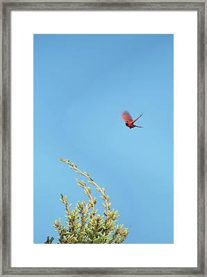Cardinal In Full Flight Digital Art Framed Print by Thomas Woolworth