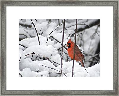 Cardinal Male 3669 Framed Print by Michael Peychich