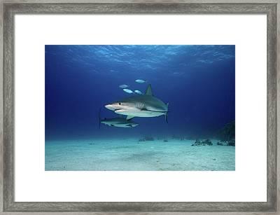 Caribbean Reef Sharks Framed Print by James R.D. Scott