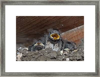 Caring For Baby Birds Www.pictat.ro Framed Print by Preda Bianca Angelica
