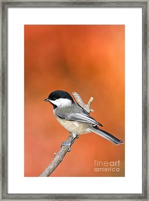 Carolina Chickadee - D007812 Framed Print by Daniel Dempster