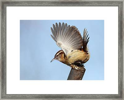 Carolina Wren Framed Print by Mircea Costina Photography