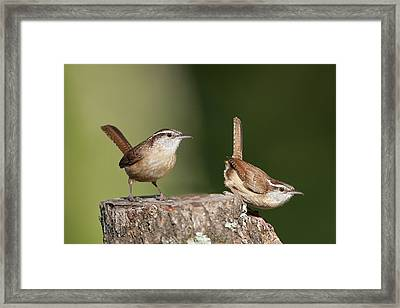 Carolina Wrens Framed Print by Bonnie Barry