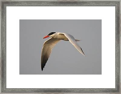 Caspian Tern In Flight Framed Print by Paulette Thomas
