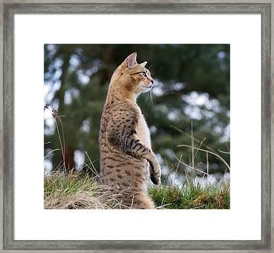 Cat Impersonating Meerkat Framed Print by Lisa Beattie