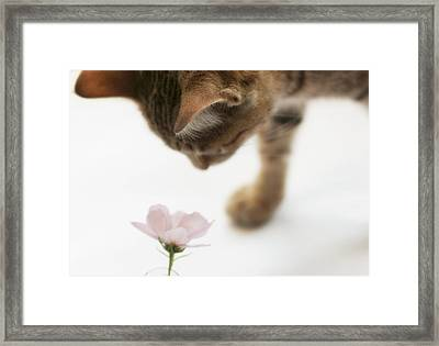 Cat Smelling Flower Framed Print by Jill Ferry Photography