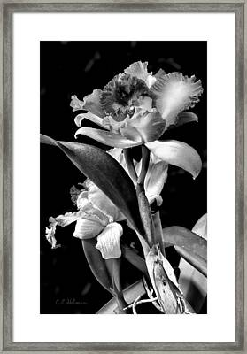 Cattleya - Bw Framed Print by Christopher Holmes
